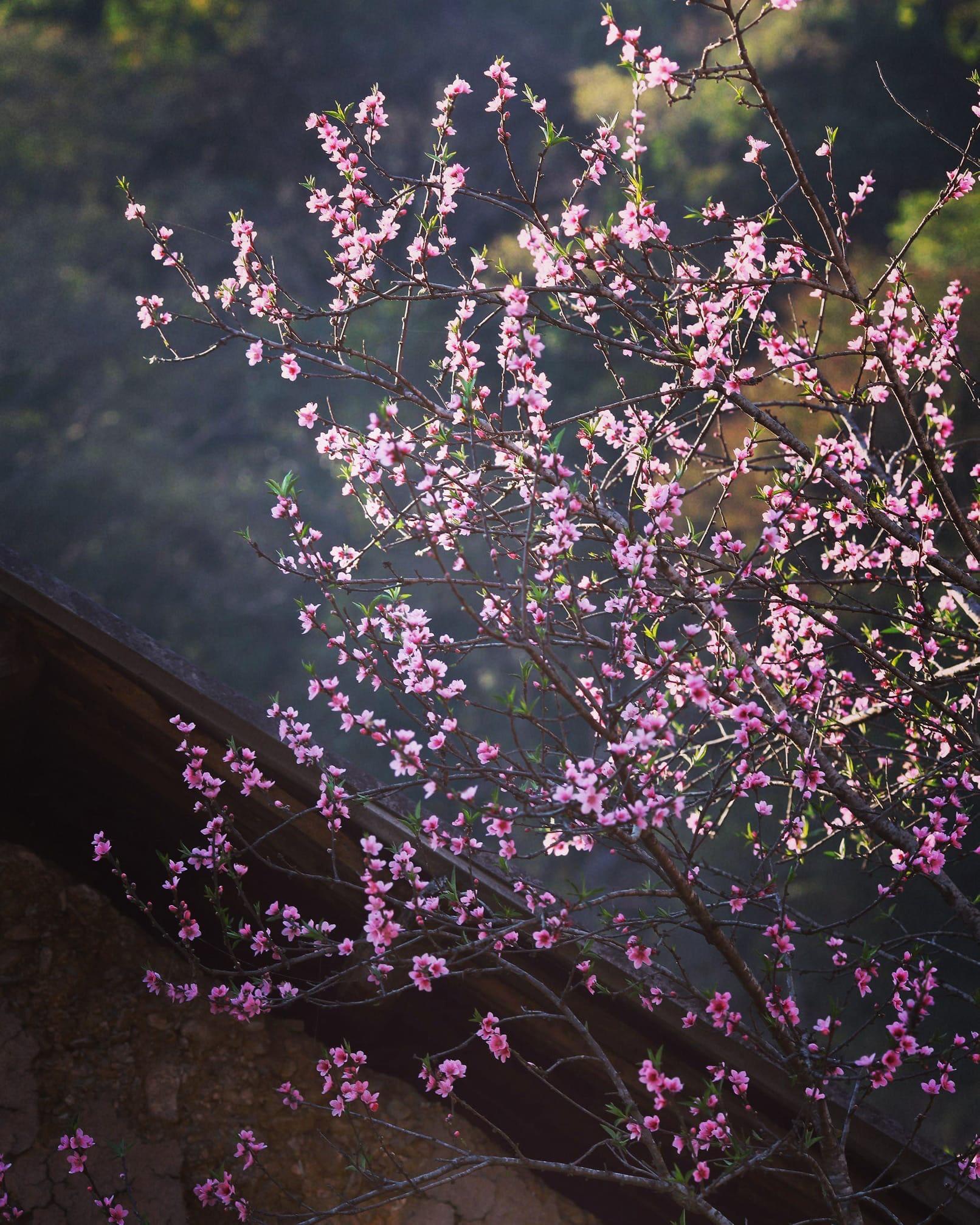 Tour trốn Tết Hà Giang trong hoa đào hoa mận 3,4,5 âm lịch