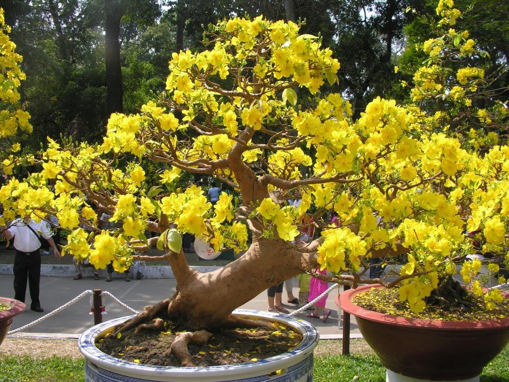 Chăm sóc cây mai sau Tết, chăm sóc mai sau Tết như thế nào, cách chăm sóc mai bonsai sau Tết hiệu quả