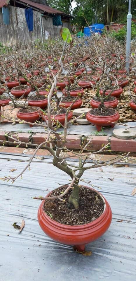 Dịch vụ chăm sóc cây mai sau Tết uy tín tại TPHCM